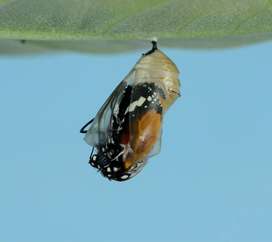 A butterfly emerging from a cocoon